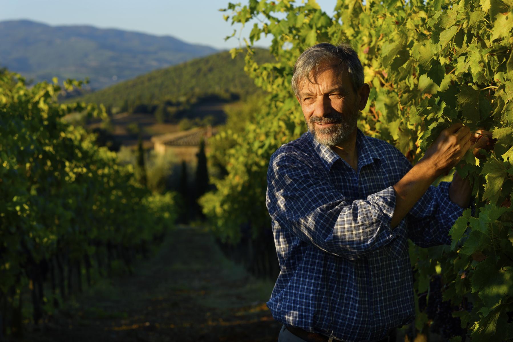Winegrower Sergio Gargari harvesting grapes in his vineyard Pieve de Pitti, Terricciola, wine region Colline Pisane, Tuscany, Italy.